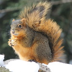 Squirrels on a Late Winter's Day at the University of Michigan (March 13, 2014) thumbnail