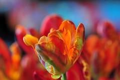 Impressionism (nikkorglass) Tags: tulips bokeh impressionism tulpaner