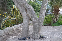 N (esta_ahi) Tags: barcelona españa spain natural tronco tronc penedès injerto castelletilagornal испания torrelletes