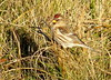 Lesser Redpoll (Paul Copner) Tags: doughmore