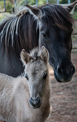 Happy Mothers Day (Eve'sNature) Tags: horse baby nature animals mother colt equine