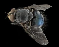 Anglų lietuvių žodynas. Žodis calliphora vicina reiškia Ciliphora Vicina lietuviškai.