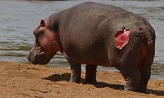 Wounded Hippo (Rainbirder) Tags: kenya marariver hippopotamusamphibius massaimara rainbirder