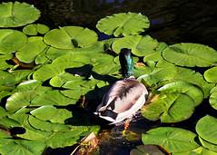 Duck 1048 (StrangeCharmDesign) Tags: bird nature water duck pond ducks arboretum mallard waterfowl lilypad mallards seattlearboretum