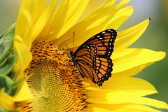 Sunflower and Monarch (pegase1972) Tags: québec quebec canada flower fleur qc tournesol sunflower butterfly monarch nature summer published licensed fotolia fineart rf123 500px sold explore explored 123rf shutterstock shutter dreamstime eyeem