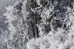 Winterwunderwald (gripspix (OFF)) Tags: winter cold forest frost hoarfrost rime kalt wald raureif eisig 20150203