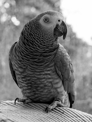 African Grey Parrot portrait shot (Olivier Blitzblum) Tags: red portrait bw copyright white black blur detail slr eye wet water glass beautiful birds t shower grey fly amazing eyes bokeh 5 sony n feather adorable parrot 15 cybershot sharp r crop 200 mm alpha dslr 18 tamron 18200 a7 ara lightroom nex a7ii a3000 a5000 apsc a7r hvl a6000 a7s a5100 a7m2 hvlf43m miroless a77m2