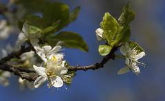 Les fleurs du prunier (mrieffly) Tags: fleursdeprunier canoneos50d 100400issriel