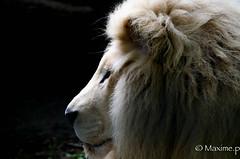 lion (max pincet) Tags: portrait observation nikon lion tamron blanc profil regard fauve faune museau crinire gueul