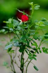 Ann Hooper miniature rose (Niki Gunn) Tags: macro rose pentax may tamron 90mm k5 tamron90mm 2016 tamron90mmf28 tamron90mmmacro tamronspaf90mmf28