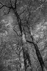 Mono Trees Sharrards Wood 1 - April 2016 (GOR44Photographic@Gmail.com) Tags: wood trees bw white black tree ir mono woods fujifilm wgc xpro1 sherrards 18mmf2 gor44