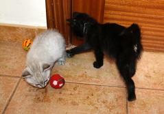 Gata Pucca (11) (adopcionesfelinasvalencia) Tags: gata pucca
