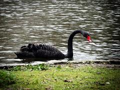 Black Swan, St James's Park Lake (firstnameunknown) Tags: lake bird london water swan wildlife lofi waterbird blackswan stjamesspark