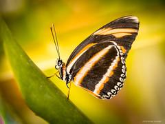 MaximilianPark-Hamm 01 cr (mschelhorn) Tags: flowers animals closeup butterfly bokeh blumen makroaufnahme makro schmetterlinge maximilianpark