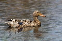 Duck (weird-osaka) Tags: bird duck eend vogel