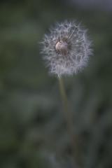 Make a wish (anek07) Tags: white plant flower green nikon wind blow dandelion seeds wish maskros annaekman
