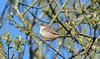 Whitethroat at Brandon Marsh (robmcrorie) Tags: bird nature lens ed nikon wildlife birding brandon reserve marsh coventry nikkor warwickshire vr 56 200500 whitethroat sssi