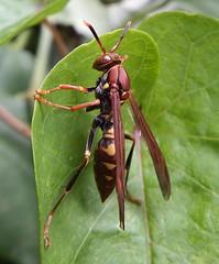 BROWN WASP 08 16 (jbmcamisetas) Tags: vespa wasp wildlife natureza inseto planetearth marimbondo bespa brownwasp