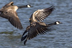 Geese (Paul Rioux) Tags: two nature birds geese inflight pair flight canadageese avian unison esquimaltlagoon prioux