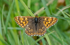 JWL7709  The Duke!.... (jefflack Wildlife&Nature) Tags: nature butterfly wildlife butterflies insects lepidoptera rodborough dukeofburgundy fritilliaries fritilliary thedukeofburgundyfritilliary