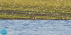 Ruddy Turnstone (Arenaria interpres)