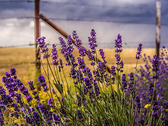 Fenced Off (Golden_Republic_Photography) Tags: california county plants flower field grass gold countryside flora purple country lavender olympus sacra lilies sacramento westcoast barbed omd sactown em5 sacramentoproud