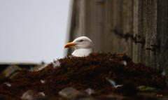 gull nesting on a roof (gshaun12) Tags: bird nature animals nest bokeh gull upclose fantasticnature