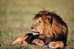 Regal (cdx_cdx) Tags: africa male kenya lion safari masaimara supertelephoto canonef500mmf4lisii canoneos1dxmarkii