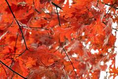 Abstract Fire (IAmnotHamlet) Tags: autumn tree fall nature outdoors oak michigan redoak washtenawcounty