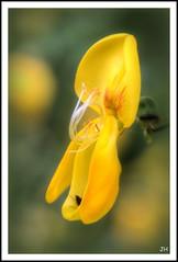 Fleur de gent  balais. (au35) Tags: flower macro nature fleur yellow jaune gent macrophotographie fleurdegentbalais