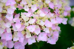 Hydrangea (Colorful-wind) Tags: light shadow plant flower color japan colorful may hydrangea fukuoka lightandshadow 2016 kitakyusyu