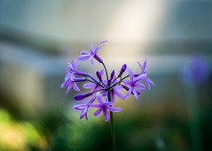 Smoothness (Alkis Logaras) Tags: flowers flower art lens purple bokeh sony smooth sigma 60mm alpha dn sonyalpha a5100 emount