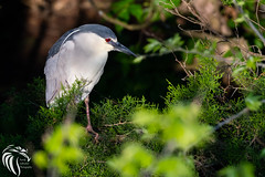 Black-crowned Night Heron - 8 (RGL_Photography) Tags: heron birds us newjersey unitedstates wildlife oceancity jerseyshore ornithology mothernature rookery blackcrownednightheron nycticoraxnycticorax wadingbirds capemaycounty migratorybirds wildlifephotography nikond500 greateggharborbay littlefingerchannel staintonmemorialcauseway nikonafs200500mmf56eedvr