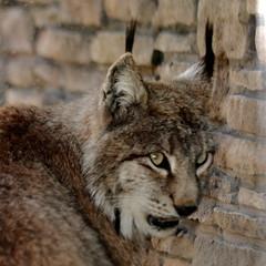 Tufted Canadian Lynx (Jay Costello) Tags: animal cat mammal zoo feline ears spotted predator lynx buffalozoobuffalo