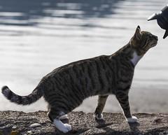 C'est vrai que le petit oiseau va sortir ? (is it true you have to watch the little birdy ? ) (Larch) Tags: camera cat iceland chat fjord curiosity islande curiosité lenshood borganes appareilphoto paresoleil