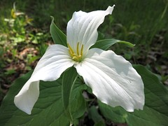 IMG_2262 One Trillium (jgagnon63@yahoo.com) Tags: trillium spring may wildflowers springflowers uppermichigan dickinsoncounty canons110