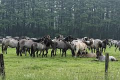Mustangs and Wild Horses - 2016-0022_Web (berni.radke) Tags: horse pony mustang pferd nordrheinwestfalen colt wildhorse foal fohlen croy herde dlmen feralhorses wildpferdebahn merfelderbruch merfeld przewalskipferd wildpferd dlmenerwildpferd equusferus wildpferdefang dlmenerpferd dlmenpony herzogvoncroy wildhorsetrack