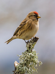 Redpoll (Paul A West (www.pwest.me)) Tags: bird nature northumberland redpoll