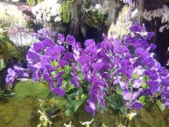 IMG_20160321_111425 (Sasha India) Tags: flowers orchid thailand orchids bangkok exibition apoc   apoc12