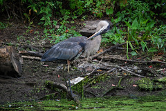 DSC_0064 (rlnv) Tags: bird heron animal newjersey princeton greatblueheron delawareandraritancanalstatepark 300mmf45ai nikond40x newjerseystateparks