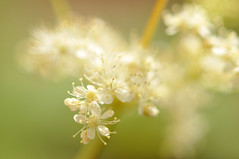 Mdes (nirak68) Tags: flower deutschland blossom balkon blume lbeck blte ger rosaceae filipendulaulmaria meadowsweet heilpflanze rosengewchs mdess 178366 schleswigholsteinkreisfreiehansestadtlbeck 2016ckarinslinsede