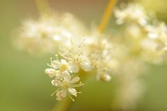 Mädesüß (nirak68) Tags: flower deutschland blossom balkon blume lübeck blüte ger rosaceae filipendulaulmaria meadowsweet heilpflanze rosengewächs mädesüs 178366 schleswigholsteinkreisfreiehansestadtlübeck 2016ckarinslinsede