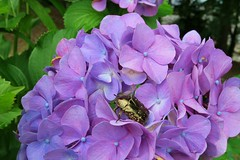 Flower chafer (namhdyk) Tags: flower canon hydrangea canonpowershot 紫陽花 flowerchafer ハナムグリ canonpowershotg7x