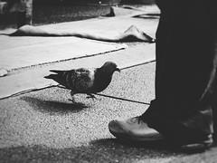 Pedestrians (Jon-F, themachine) Tags: bird birds animal animals japan fauna birdie asian asia pigeon pigeons olympus  nippon japo oriental orient fareast takayama  gifu nihon  birdy omd  japn hidatakayama  2016      m43  mft  gifuken   mirrorless   micro43 microfourthirds  ft xapn jonfu  mirrorlesscamera snapseed   em5ii em5markii