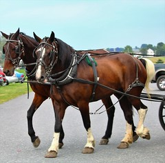 IMG_3803 (joyannmadd) Tags: amish horses intercourse pennsylvania kitchenkettlevillage farm animals lancaster coumty pa farms nature outdoors