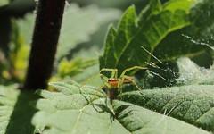 Il fait beau (Carahiah) Tags: macro nature insect feuille feuillage thomisidae araignecrabe thomise araigneorangeetverte
