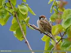 Eurasian Tree Sparrow (Passer montanus) (gilgit2) Tags: pakistan birds fauna canon geotagged wings wildlife feathers tags location species tamron category avifauna passermontanus chitral kpk imranshah eurasiantreesparrowpassermontanus canoneos7dmarkii tamronsp150600mmf563divcusd gilgit2 dalamus