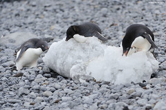 Adlie Penguins Eating Ice (naturalturn) Tags: ice beach penguin antarctica adlie antarcticpeninsula brownbluff image:rating=5 image:id=188503
