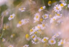 Acuarela (sergio estevez) Tags: flowers flores verde blanco bokeh amarillo campo margaritas natureleza pinardelrey samyang500mmf63 sergioestevez