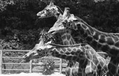 3 Giraffes (heliarkorea) Tags: slr film animal md kodak giraffe minoltaxgm koreazoo